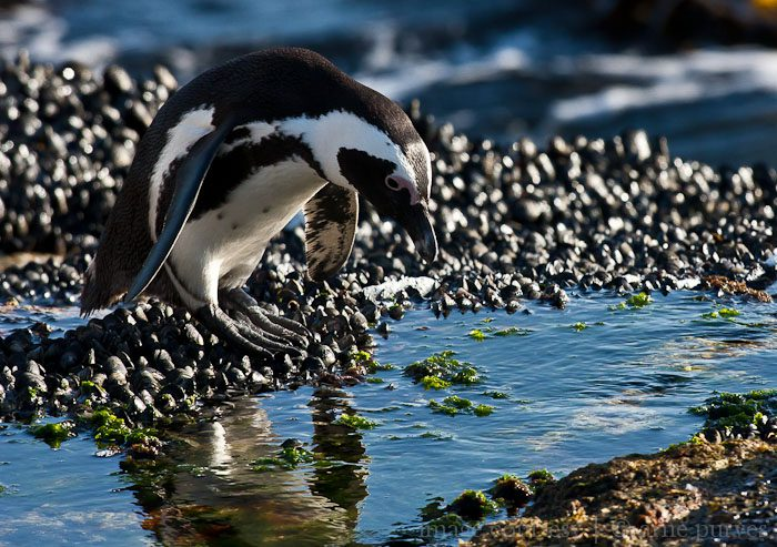 International African Penguin Awareness Day