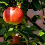 Apple Tree Day 2018