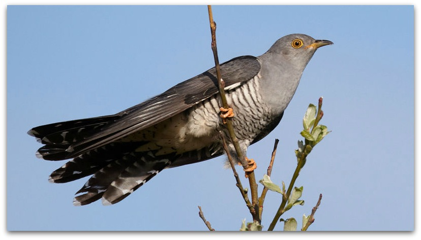 Cuckoo Warning Day