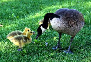 Happy Goose Day