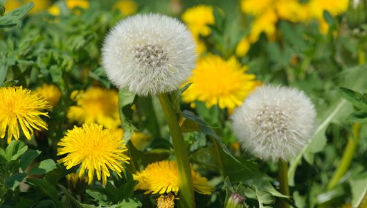 National Dandelion day