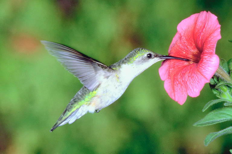 National Hummingbird Day