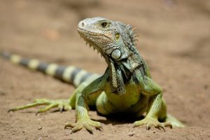National Iguana Awareness Day